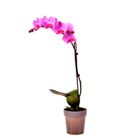 Orchid_pink_3
