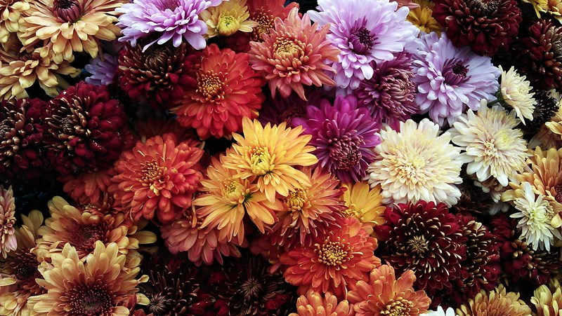 mums-for-fall